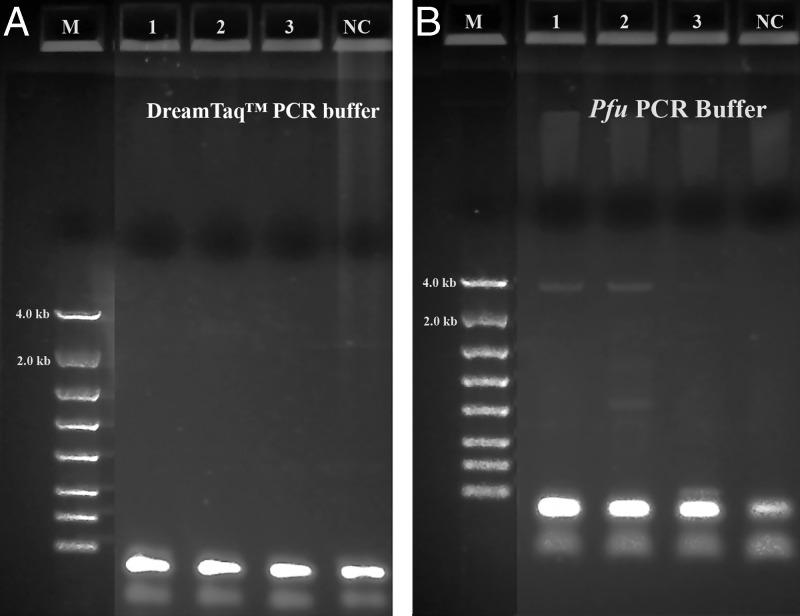 Long range ribosomal PCR Amplifications of the 3.5 kb target from Summer specimens with both Dream Taq ™ and Pfu in manufacturer's PCR buffers. M: DNA markers; 1: 104K29; 2: 104K30; 3: 104K31; NC: negative control, respectively. A: Dream Taq ™ PCR buffer; B: Pfu PCR buffer.