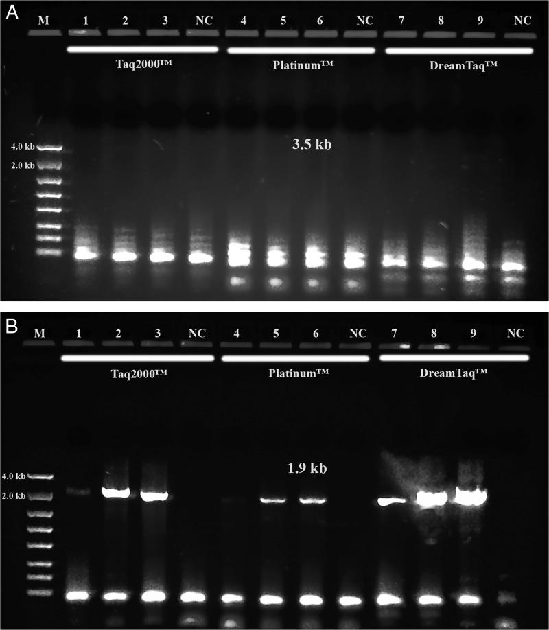 PCR performance of Taq 2000™, Platinum™ Taq and Dream Taq ™. M: DNA markers; 1, 4 and 7: 104N95; 2, 5 and 8: 104N96; 3, 6 and 9: 104N97. 1, 2, 3 and NC by Taq 2000™; 4, 5, 6 and NC by Platinum™ Taq ; 7, 8, 9 and NC by Dream Taq ™, NC: negative control, respectively. A: 3.5 kb target; B: 1.9 kb ITS and 28 S target. Note: final concentration of either Taq 2000™ or Dream Taq ™ in each reaction was aligned with Platinum™ Taq in 1.25 units.