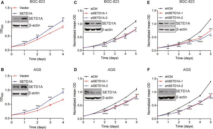 SETD1A promotes gastric cancer cell proliferation. (A, B) Overexpression of SETD1A increased BGC‐823 and AGS cell proliferation. BGC‐823 and AGS cells were transfected with SETD1A plasmid for 48 h and then seeded into 96‐well plates for CCK‐8 assays (mean ± SEM; n = 4; Student's t ‐test). (C, D) Knockdown of SETD1A decreased BGC‐823 and AGS cell proliferation. Cells were transfected with SETD1A siRNAs for 48 h and then seeded into 96‐well plates for CCK‐8 assays (mean ± SEM; n = 4; Student's t ‐test). (E, F) Stable SETD1A‐knockdown BGC‐823 and AGS cells grown slowly compared to control cells (mean ± SEM; n = 4; Student's t ‐test). (mean ± SEM; n = 4; Student's t ‐test) * P