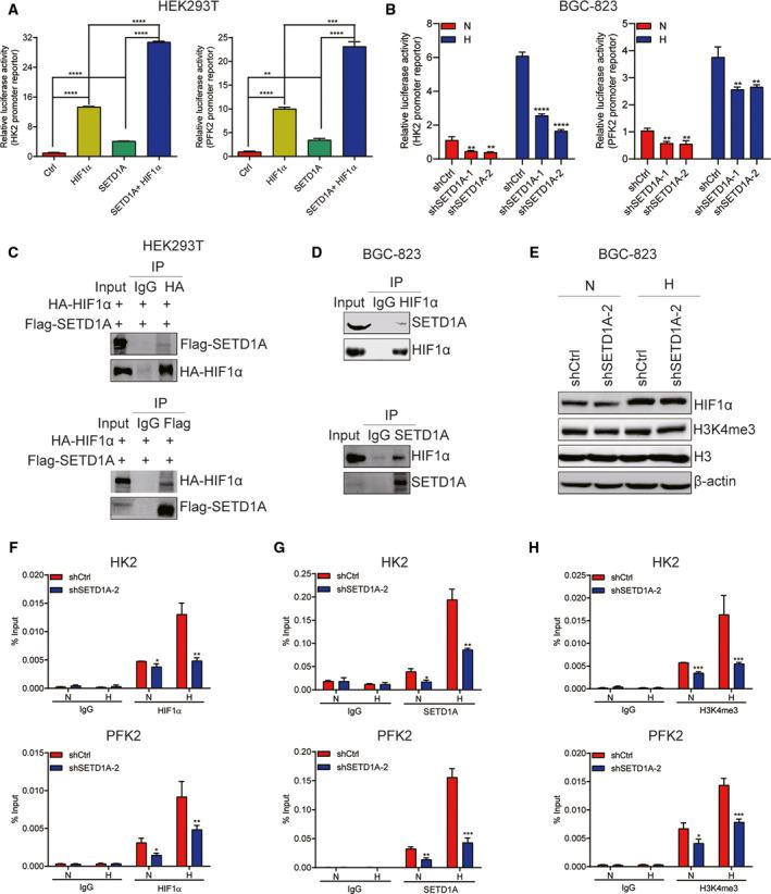SETD1A cooperates with HIF1α to enhance HIF1α transactivation. (A) SETD1A cooperated with HIF1α to enhance the HK2 and PFK2 promoter–reporter activity (mean ± SEM; n = 3; Student's t ‐test). (B) Downregulation of SETD1A decreased the HK2 and PFK2 promoter activity in BGC‐823 cells. SETD1A‐knockdown and control BGC‐823 cells were transfected with HRE‐Luc under normoxic (N) and hypoxic (H) conditions. Luciferase activity was measured 48 h after transfection (mean ± SEM; n = 3; Student's t ‐test). (C) Co‐IP analysis of the interaction between Flag‐SETD1A and HA‐HIF1α. (D) Co‐IP analysis of the interaction between endogenous SETD1A and HIF1α in BGC‐823 cells. (E) Downregulation of SETD1A did not change the expression of HIF1α and global H3K4me3 protein in BGC‐823 cells. (F, G) Downregulation of SETD1A reduced the levels of HIF1α (F), SETD1A (G), and H3K4me3 (H) on the HK2 and PFK2 promoter in BGC‐823 cells. ChIP analysis of the levels of HIF1α (F), SETD1A (G), and H3K4me3 (H) on the HK2 and PFK2 promoter in SETD1A‐knockdown and control BGC‐823 cells under normoxic (N) or hypoxic (H) condition (mean ± SEM; n = 3; Student's t ‐test). * P