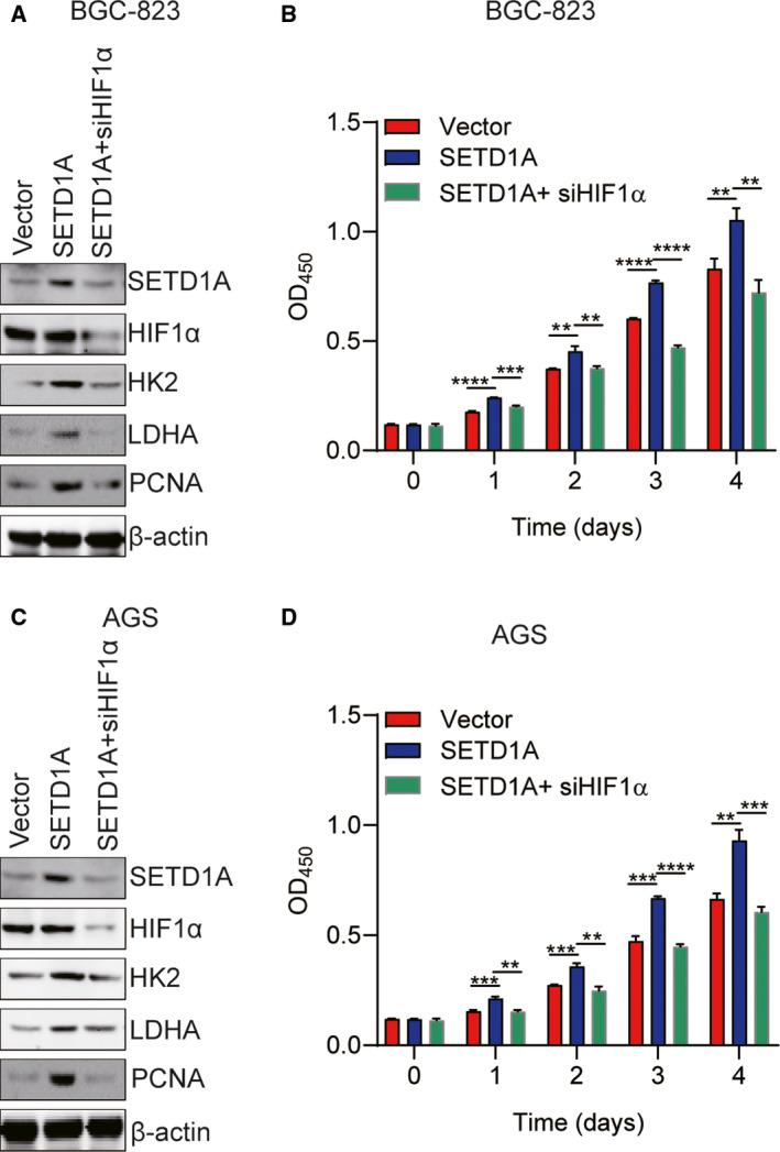 Inhibition of HIF1α suppresses SETD1A‐enhanced GC cell proliferation. (A, B) Knockdown of HIF1α suppressed glycolytic pathway and SETD1A‐enhanced BGC‐823 cell proliferation (mean ± SEM; n = 3; Student's t ‐test). (C, D) Knockdown of HIF1α suppressed glycolytic pathway and SETD1A‐enhanced AGS cell proliferation (mean ± SEM; n = 4; Student's t ‐test). ** P