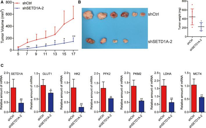 Knockdown of SETD1A reduces gastric cancer cell tumorigenesis. (A, B) Downregulation of SETD1A in BGC‐823 cells inhibited xenograft tumor growth (A) in nude mice and reduced tumor weight (B) (mean ± SEM; n = 6; Student's t ‐test). (C) The mRNA levels of the GLUT1, HK2, PFK2, PKM2, LDHA, and MCT4 were reduced in SETD1A‐knockdown tumors (mean ± SEM; n = 6; Student's t ‐test). * P