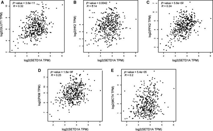 The expression of SETD1A is positively correlated with the expression of glycolytic genes in human gastric cancer specimens from TCGA dataset. Linear regression of SETD1A and glycolytic genes GLUT1 (A), HK2 (B), PFK2 (C), PKM (D), and MCT4 (E) using GC samples from TCGA database obtained by GEPIA.