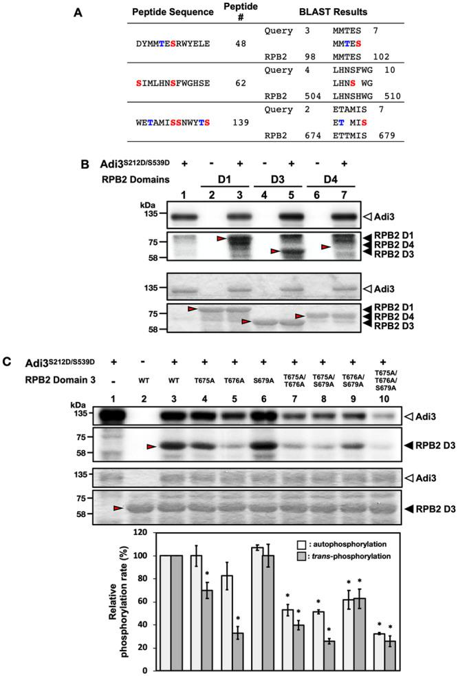 Confirmation of Adi3-mediated phosphorylation events on RPB2 as a potential substrate for Adi3. (A) BLAST results from the identification of RPB2 as a potential Adi3 substrate. RPB2 was identified by BLAST using the 48 th , 62 th , and 139 th peptide as queries. In the peptide sequence column, Ser and Thr residues highlighted in red or blue, respectively, indicate possible phosphorylation sites. Peptide # refers to the ranking of each indicated peptide used for BLAST within the top 63 peptides and the 139 th peptide phosphorylated by Adi3. In the BLAST results column, numbers represent amino acid positions in the peptide or RPB2 protein. (B) in vitro kinase activity of Adi3 toward RPB2. Three μg of each RPB2 domain protein was incubated with 1 μCi of [γ- 32 P]ATP in the presence or absence of 1 μg of Adi3 S212D/S595D . Red arrows indicate the expected position of RPB2 domain proteins. Top and bottom panels show the phosphorimage and Coomassie stained gel, respectively. Experiments were repeated three times with similar results. (C) Adi3 phosphorylates Thr675 and Thr676 of RPB2 D3. The indicated RPB2 D3 Thr or Ser residues were mutated to Ala individually or in combination and tested for Adi3-mediated phosphorylation using in vitro kinase assays. The assay was conducted as described in B. Quantification of the auto- and trans -phosphorylation activities of Adi3 were from three independent assays. Top and bottom panels indicate the phosphorimage and Coomassie stained gel, respectively. Asterisks indicate significantly decreased (*) auto- and trans -phosphorylation activity of Adi3 compared to RPB2 D3 WT (Student' t test, P