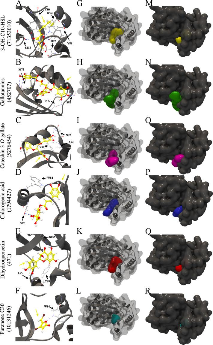 Molecular docking of 3QP8 structure of CviR protein of C. violaceum ATCC 12472 with 3-OH-C10-HSL, gallotannins, catechin 3- O -gallate, chlorogenic acid, dihydroquercetin, and furarone C30. (A–F) Backbone representation of 3QP8 structure with hydrogen bond between the amino acid residues and evaluated compounds, (G–L) surface and backbone representations, and (M–R) surface representation. Gray surface representation, CviR; yellow surface representation, 3-OH-C10-HSL; green surface representation, gallotannins; pink surface representation, catechin 3- O -gallate; blue surface representation, chlorogenic acid; red surface representation, dihydroquercetin; cyan surface representation, furarone C30; gray backbone representation, CviR; black arrow indicates the binding site; yellow arrow, 3-OH-C10-HSL or gallotannins or catechin 3- O -gallate or chlorogenic acid or dihydroquercetin or furarone C30; blue dashed line, hydrogen bond.