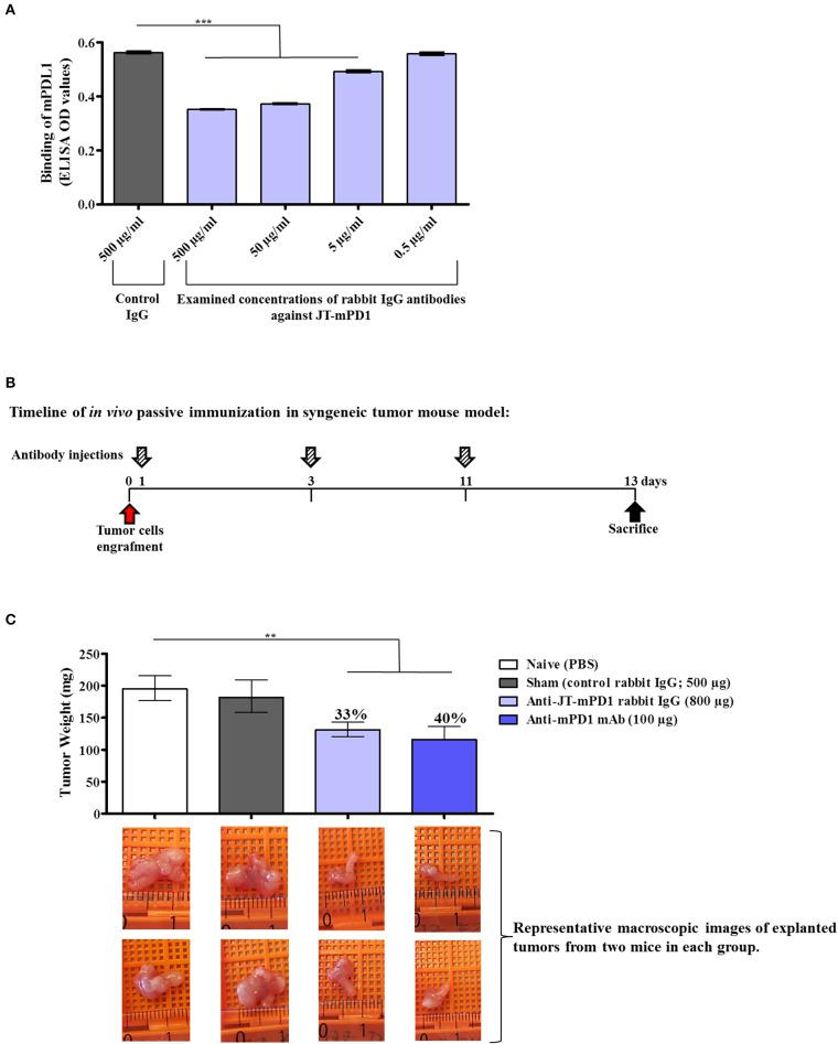 Evaluation of anti-tumor capacity in vivo by passive immunization with the rabbit IgG against JT–mPD1 in a syngeneic tumor mouse model. (A) Inhibition ELISA showing the binding of mPD–L1 to coated mPD1, before or after preincubation with control rabbit IgG or with different concentrations of rabbit-specific IgG against JT–mPD1 n = 4 for each data point. (B) BALB/c mice either remained untreated (naïve) or were injected as depicted. (C) In vivo anti-tumor effect shown by bars expressing the weight of the tumors explanted upon sacrifice from all the mice in each group. The levels of tumor growth reduction in the mice immunized with the rabbit IgG Abs or the examined mAb against mPD1, compared to the naïve mice, are indicated in percentages above the respective bars. Corresponding macroscopic images of representative explanted tumors are shown below each bar n = 8 for each data point. The results are representative of at least two repeated experiments. Significant differences are indicated by asterisks (** P