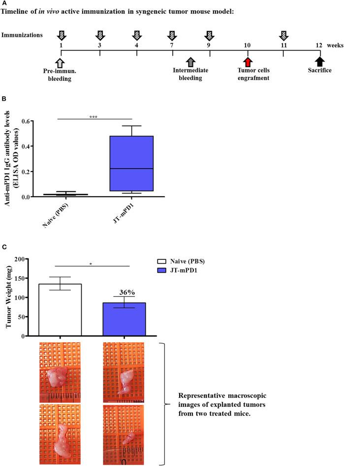 Evaluation of anti-tumor capacity in vivo by active immunization with JT–mPD1 in a syngeneic tumor mouse model. (A) BALB/c mice either remained untreated (naïve) or were immunized as depicted. (B) Level of serum IgG antibody responses against recombinant mPD1 protein, at the time of the sacrifice of the mice immunized with the mimotope. (C) In vivo anti-tumor effect shown by bars expressing the weight of the tumors explanted upon sacrifice from all the mice in each group. The level of tumor growth reduction in the immunized mice, compared to the naïve mice, is indicated in percentages above the respective bar. Corresponding macroscopic images of representative explanted tumors are shown below each bar n = 10 for each data point. The results are representative of at least two repeated experiments. Significant differences are indicated by asterisks (* P