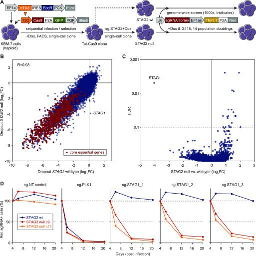 """Genome-wide CRISPR screens in isogenic KBM-7 cell lines identify STAG1 as the most selective synthetic-lethal dependency in STAG2 -mutant cells. (A) Schematic of cell line engineering and genome-wide CRISPR screening. Haploid KBM-7 cells were sequentially transduced with indicated lentiviral vectors, Cas9-GFP–expressing cells were single-cell sorted, and derived clones characterized for homogenous and effective CRISPR editing. The selected clone was lentivirally transduced with a validated sgRNA-targeting STAG2 , and several subclones were isolated and characterized for STAG2 knockout. One STAG2 knockout clone was selected (""""c9"""") and screened side-by-side with the parental STAG2 –wild-type clone (""""B4"""") using a second-generation genome-wide sgRNA library. (B) Gene-level dropout effects in wild-type and STAG2 -null KBM-7 cells. Shown are log 2 fold changes between the end point of triplicate screens and the sgRNA library (analyzed using MAGeCK v0.5.8). A set of previously described generally essential genes ( Wang et al, 2019 ) are highlighted in red. (C) Analysis of differential effects in STAG2 -null versus STAG2 –wil-type cells (MAGeCK v0.5.8), revealing STAG1 as the most prominent and only significant synthetic lethal interaction. (D) Competitive proliferations assays in STAG2 –wild-type (B4, blue lines) and STAG2 -mutant (c9, red lines) cell lines used in the screen and in an independent STAG2 -mutant clone (c11, orange lines). Cells were transduced with a lentiviral vector co-expressing mCherry and the indicated sgRNAs, and the fraction of mCherry+ cells was monitored over time using flow cytometry."""