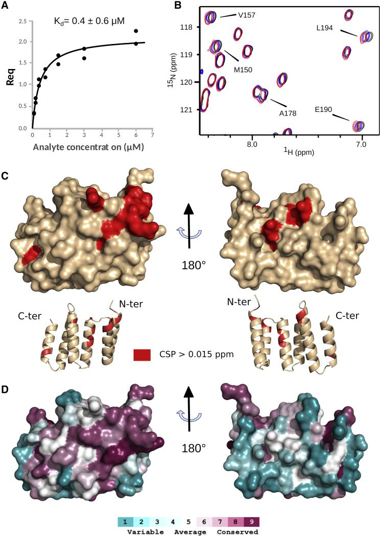 Interaction of LpoP with the Pa UB2H Domain of Pa PBP1B (A) Quantified BLI binding data for biotin-labeled Pa UB2H binding to LpoP. (B) Region of 1 H– 15 N correlation spectra showing chemical shift perturbations induced on 15 N-labeled LpoP by addition of different ratios of Pa UB2H. The spectra plotted in black, blue, and red correspond to a UB2H/LpoP ratio of 0, 1.2, and 1.8, respectively. The samples were prepared with 115 μM of 15 N LpoP in 50 mM HEPES buffer (pH 7.0) containing 150 mM NaCl. Pa UB2H was concentrated in the exact same buffer to reach a final concentration of 150 μM and added to the NMR tube to obtain the different ratios. The NMR experiments were recorded at 25°C and on a 20-T NMR spectrometer. (C) Residues showing a higher perturbation than 0.015 ppm upon UB2H addition are mapped in red on the surface and cartoon representation of the LpoP structure. (D) Sequence conservation scores were calculated using the ConSurf webserver ( Landau et al., 2005 ) and displayed on the surface representation of LpoP using the same orientation as (C). Scores range from 1 (not conserved, cyan) to 9 (highly conserved, magenta).