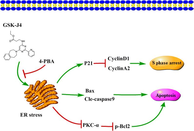 The mechanisms of GSK-J4-induced cell cycle arrest, cell apoptosis and PKC-α/p-Bcl2 pathway inhibition. GSK-J4 induces S phase arrest and cell apoptosis through ER stress, and inhibits PKC-α/p-Bcl2 pathway by stimulating ER stress