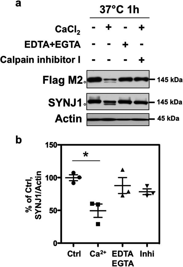In vitro cleavage assay for SYNJ1 by calpain. a HEK 293 cells were transiently transfected with Flag-SYNJ1 145 and cultured for 24 h. The cell lysate was incubated at 37 °C for 1 h in the presence or absence of calcium. In the presence of calcium in the lysate, SYNJ1 was significantly decreased by 50% and a 140-kDa band appeared (open circle). The proteolysis was inhibited by adding calcium chelators (EDTA and EGTA) or calpain inhibitor I. b The graph shows the OD of SYNJ1 normalised to actin in each condition of three independent experiments. * p