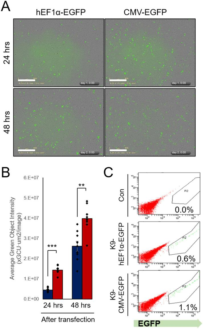 Construction of transgenic canine donor fibroblast with EGFP gene controlled by hEF1α and CMV promoter. (A) Representative images of EGFP-expressing cells at indicated time after transfection with linearized hEF1α- and CMV-EGFP plasmid vectors captured by IncuCyte ® equipment. (B) Quantitative data of green fluorescence object segmentation analysis by the IncuCyte ® basic software. (C) EGFP-positive transgenic donor cells sorted using FACS, 2 weeks after transfection into canine fetal fibroblasts. Scale bars indicate 800 μm. **, P