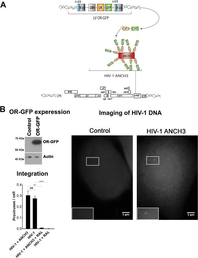 Detection of the retrotranscribed HIV-1 DNA in infected cells. (A) Schema of the HIV-1 ANCHOR system based on <t>lentiviral</t> vectors carrying on the OR-GFP cDNA under the control of CMV promoter (LV OR-GFP) and HIV-1 containing the ANCH3, the target sequence of OR proteins (HIV-1 ΔEnv IN HA ΔNef ANCH3/VSV-G). (B) HeLa P4R5 cells were transduced with LV OR-GFP. The efficiency of OR-GFP expression was monitored by Western blotting using antibody against GFP. As a loading control, samples were also blotted using antibody against actin. HeLa cells stably expressing OR-GFP infected or not with HIV-1 ΔEnv IN HA ΔNef ANCH3/VSV-G (MOI of 50) were imaged by fluorescence microscopy at 24 h postinfection using a water immersion objective in epifluorescence. The number of proviruses was detected by Alu-PCR on HeLa P4R5 OR-GFP cells infected with HIV-1 or HIV-1 ANCH3.