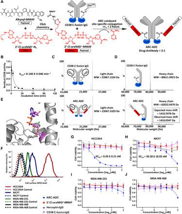 Generation and in vitro evaluation of anti-HER2 ARC-ADC. ( A ) Scheme for generating anti-HER2 ARC-ADC. r.t., room temperature. ( B ) Conjugation kinetics of drug linker to CD38 C-fusion IgG. 2′-Cl-araNAD + –MMAF (1 mM) was incubated with CD38 C-fusion IgG (10 μM) in 50 mM tris buffer (pH 8.5) for various amounts of time on ice. The residual enzymatic activity determined by fluorescence-based activity assays was plotted as a function of incubation time. ( C and D ) Mass spectra of light chains (C) and heavy chains (D) for CD38 C-fusion IgG and anti-HER2 ARC-ADC. MW, molecular weight. ( E ) X-ray structure of human CD38 catalytic domain with 2′-Cl-araNAD + covalently attached to Glu 226 residue. ( F ) Flow cytometric analysis of HER2 expression for four breast cancer cell lines. ( G to J ) In vitro cytotoxicity of anti-HER2 ARC-ADC. HCC1954 (G), MCF7 (H), MDA-MB-231 (I), and MDA-MB-468 (J) cells with varied levels of HER2 expression were incubated for 72 hours at 37°C with 5% CO 2 in the presence of various concentrations of ARC-ADC, 2′-Cl-araNAD + –MMAF, Herceptin, and CD38 C-fusion IgG. Cell viability was measured by MTT assays. Cells treated with culture media and 5 μM paclitaxel were included as 100% viability and 0% viability controls, respectively.