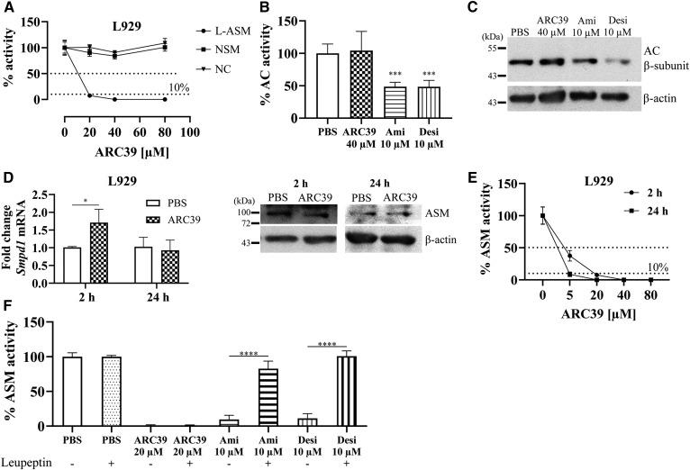Direct and specific inhibition of ASM by ARC39 under cell culture conditions. A: L929 cells were treated for 2 h with ARC39 as indicated, and the activity of ASM, NSM, and NC was determined. L929 cells were treated for 2 h with ARC39, amitriptyline (Ami) or desipramine (Desi) as indicated, and AC activity was subsequently determined in B, and AC protein was analyzed by Western blotting in C. D: L929 cells were treated with 20 μM of ARC39 as indicated: fold change of Smpd1 mRNA relative to Hprt1 (left), ASM protein level (representative Western blot) (right). E: ASM activity in L929 cells after treatment with ARC39 as indicated. P