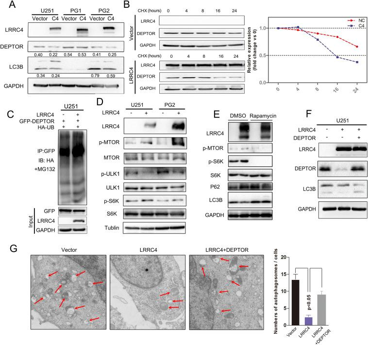 LRRC4 promoted the degradation of DEPTOR protein, and re-expression of DEPTOR restored autophagy activation. a Representative western blotting analysis of LRRC4, DEPTOR, LC3B and GAPDH in U251, PG1 and PG2 cells with or without transfection with LRRC4. Numbers represent the relative ratio of DEPTOR/LC3B and GAPDH. b Western blotting analysis was used to measure of the half-life of DEPTOR after treatment with cycloheximide in U251 cells with (down) or without (upper) LRRC4 transfection. Cells were lysed and protein was extracted at 0, 4, 8, 16, 24 h after cycloheximide treatment. c DEPTOR ubiquitination was assessed by an anti-GFP antibody in the presence of MG132 when GFP-DEPTOR, HA-ubiquitin, and LRRC4 or vector were co-transfected into U251 cells. d Representative western blotting analysis of LRRC4, p-MTOR, MTOR, p-ULK1, ULK1, p-S6K, S6K and Tubulin in U251 and PG2 cells with or without transfection with LRRC4. e Representative western blotting analysis of LRRC4, p-MTOR, p-S6K, S6K, P62, LC3B and GAPDH in U251 cells, U251 cells with or without LRRC4 transfection were treated with dimethylsulfoxide (DMSO) or Rapamycin. f Representative western blotting analysis of LRRC4, DEPTOR, LC3B and GAPDH in U251 cells, U251 cells with stable expression LRRC4 and LRRC4-expressing U251 cells with ectopic expression of DEPTOR. g Autophagosomes were observed by transmission electron microscopy in U251 cells, U251 cells with stable expression LRRC4 and LRRC4-expressing U251 cells with ectopic expression of DEPTOR.