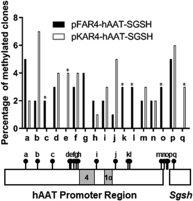 Comparative Analysis of the CpG Methylation Status of the hAAT Promoter Region Carried by the pFAR4 or the pKAR4 Plasmid Constructs The region upstream of the Sgsh cDNA sequence is represented with CpG dinucleotides (●). Gray rectangles show the location of HNF1α and HNF4 binding sites within the hAAT promoter region. For each plasmid construct, genomic DNA from three infused mice was treated with bisulfite. The represented DNA region was amplified by PCR. After cloning of the amplicons, 21–25 independent sequences were analyzed for each mouse. Data represent the mean of independent methylated sequences as determined by CpG retention after bisulfite treatment for each plasmid. Asterisk (∗) indicates the positions where the methylated CpG appears to be present in a plasmid sequence and absent in the other.