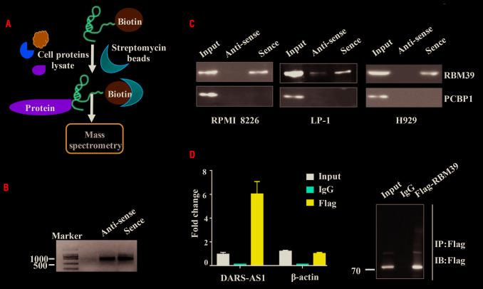 DARS-AS1 interacts with RBM39. (A) Schematic of the RNA DARS-AS1 pulldown experiment. (B) RNA electrophoresis showed the sense and antisense DARS-AS1 in vitro .(C) Western blotting analysis of the proteins from the proteomics screen after pulldown. (D) RNA immunoprecipitation experiments were performed using a Flag antibody (exogenous RBM39 protein with Flag-tag), and specific primers to detect DARS-AS1 or β-actin.