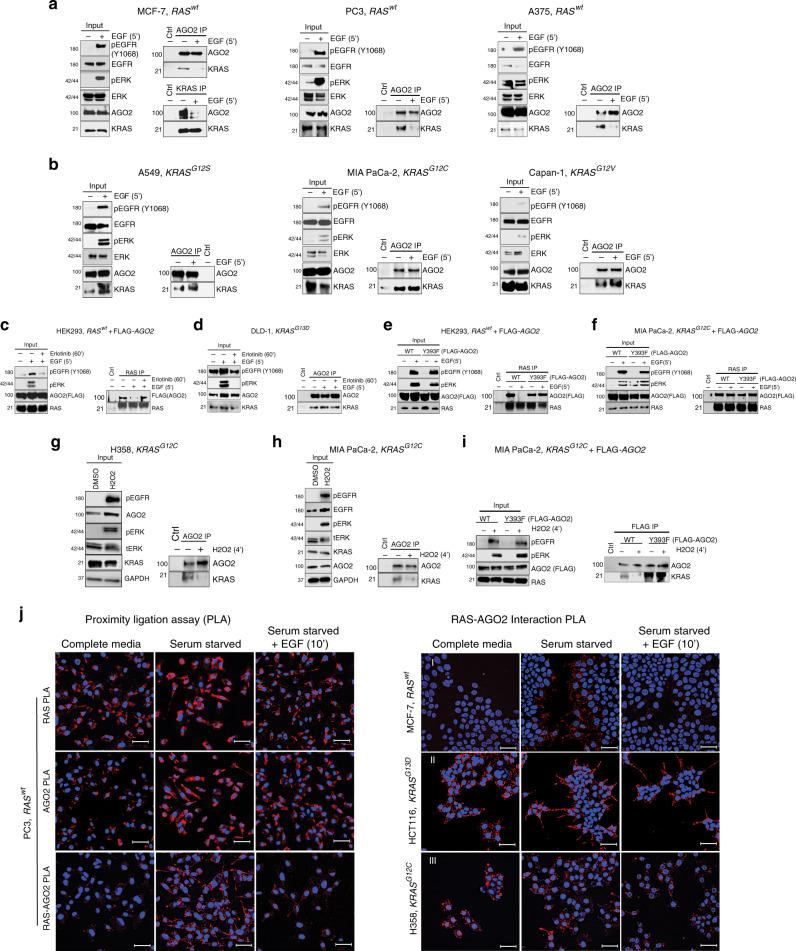 Phosphorylation of AGO2 Y393 disrupts its interaction with KRAS. a Immunoprecipitation (IP) of endogenous AGO2 upon EGF stimulation (5′) in the indicated cancer cells expressing wild-type RAS followed by immunoblot analysis of KRAS. For MCF7 cells, endogenous co-IP analysis was performed using both AGO2 and KRAS-specific antibodies. For each cell line and panel in this figure, MAPK activation and levels of various proteins are shown as input blots. b IP of endogenous AGO2 upon EGF stimulation (5′), in the indicated cancer cells harboring different KRAS mutations, followed by immunoblot analysis of KRAS. c Co-IP and immunoblot analysis of RAS and AGO2 upon EGF stimulation of HEK293 (wild-type KRAS ) cells expressing FLAG-AGO2 or ( d ) DLD-1 ( KRAS G13D ) cells in the presence or absence of erlotinib. e EGF stimulation and RAS co-IP analysis in HEK293 (wild-type KRAS ) and f MIA PaCa-2 ( KRAS G12C ) cells expressing FLAG-tagged AGO2 (wild-type or Y393F). IP of endogenous AGO2 upon H 2 O 2 treatment (4′), in H358 ( g ) and MIA PaCa-2 ( h ) cells harboring KRAS mutations, followed by immunoblot analysis of KRAS. i H 2 O 2 treatment and KRAS-AGO2 co-IP analysis in MIA PaCa-2 ( KRAS G12C ) cells expressing FLAG-tagged AGO2 (wild-type or Y393F). Numbers on the left of the immunoblots in this panel indicate protein molecular weights in kDa. j Left panels, Representative images of single target (RAS or AGO2) and RAS-AGO2 interaction PLA in wild-type RAS expressing PC3 cells across the indicated cell culture conditions. Right panels, Representative images of PLA to detect RAS-AGO2 interaction in wild-type RAS expressing MCF-7 (panel I) and oncogenic KRAS expressing HCT116 (panel II) and H358 (panel III) cells grown in the indicated culture conditions. PLA signals appear as red dots around DAPI stained nuclei in blue. Scale bar, 50 µm.