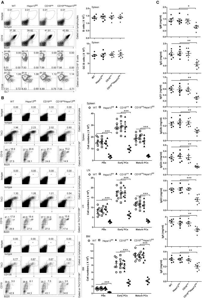 PBs, PCs, and antibodies were reduced in CD19 cre Hspa13 fl/fl (Hspa13 cKO) mice. (A) Hspa13 cKO did not affect naïve B cells or germinal center (GC) B cells in mice. Splenic lymphocytes from 9-week-old wild type, Hspa13 fl/fl , CD19 cre , and CD19 cre Hspa13 fl/fl mice were separated using a lymphocyte separation solution; stained with isotype control antibodies, anti-mouse CD19, B220, CD38, and GL7 antibodies; and then analyzed by FACS. The percentages (left panel) and the absolute numbers (right panel) of CD19 + B220 + B cells and CD38 lo GL7 hi B220 + CD19 + GC B cells are shown. (B) Hspa13 cKO reduced PBs, early PCs, and mature PCs in mice. Lymphocytes from the spleen, LNs, and BMs of 9-week-old WT, Hspa13 fl/fl , CD19 cre , and CD19 cre Hspa13 fl/fl mice were separated using a lymphocyte separation solution; stained with isotype control antibodies, anti-mouse TACI, CD19, B220, and CD138 antibodies; and then analyzed by FACS. The percentages (left panel) and the absolute numbers (right panel) of TACI + CD138 + B220 int CD19 int PBs, TACI + CD138 + B220 − CD19 int early PCs, and TACI + CD138 + B220 − CD19 − mature PCs are shown. (C) Hspa13 cKO reduced antibodies in mice. Sera were collected from 9-week-old WT, Hspa13 fl/fl , CD19 cre , and CD19 cre Hspa13 fl/fl mice, and the total IgM, IgG, IgG1, IgG2b, IgG2c, IgG3, IgA, and IgE antibody levels were analyzed by ELISA. (A–C) Data represent three independent experiments, with six mice per group per experiment. Data were analyzed by the one-way ANOVA plus the Bonferroni test: compare selected pairs of columns and show as mean ± s.e.m ( N = 6 for all groups). * P