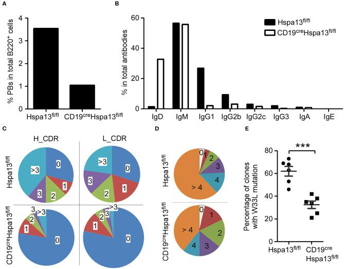 Hspa13 cKO reduced class switch recombination (CSR), somatic hypermutation (SHM), and affinity maturation of antibodies. Nine-week-old female Hspa13 fl/fl (control) and CD19 cre Hspa13 fl/fl (Hspa13 cKO) mice (three mice per group) were injected i.p. with 1 × 10 9 SRCs (A–C) or NP-KLH (D,E) on days 0 and 7. On day 21 following SRC stimulation, splenocytes were stained with PerCP-conjugated anti-mouse B220 antibodies and sorted by FACS. Single cells were captured using the 10 X Genomics Full Chromium platform and subjected to RNA- and VDJ-sequencing. (A) Hspa13 cKO reduced SRC-induced PBs. Of the single PBs, 27 (3.49%) and 11 (1.07%) (Ighm + , Ighg1 + , Ighg2b + , Ighg2c + , Ighg3 + , Igha + , or Ighe + Cd3d − Cd3e − Cd3gCd4 − Cd8a − Cd19 + Ptprc + Ms4a1 + Ighd − Bcl6 − Aicda − Prdm1 + Xbp1 + Sdc1 + ) within the splenic B cell population were identified by single-cell RNA-sequencing out of 774 and 1,025 single cells corresponding to CD19 cre Hspa13 fl/fl and Hspa13 fl/fl mice, respectively. (B) Hspa13 cKO reduced SRC-induced antibody CSR. Single cells expressing genes encoding IgD, IgM, IgG1, IgG2b, IgG2c, IgG3, IgA, and IgE antibodies were identified by single-cell VDJ-sequencing. The percentage of different antibody subtypes expressed by single cells out of 734 and 382 antibody-expressing single cells from CD19 cre Hspa13 fl/fl and Hspa13 fl/fl mice, respectively, is shown. (C) Hspa13 cKO reduced SRC-induced antibody SHM. The single antibody gene was determined by single-cell VDJ-sequencing. SHM percentages in the CDR (complementarity-determining region) of the heavy (H) and light (L) chains are based on 382 and 734 antibody genes from Hspa13 fl/fl and CD19 cre Hspa13 fl/fl mice, respectively. (D) Hspa13 cKO reduced NP-specific SHM induced by NP-KLH. The distribution of the number of mutations per unique clone (VH186.2 segment) is shown. Numbers refer to 100 individual sequences; three animals per group were analyzed. (E) Hspa13 cKO reduced NP-specific high-affinit