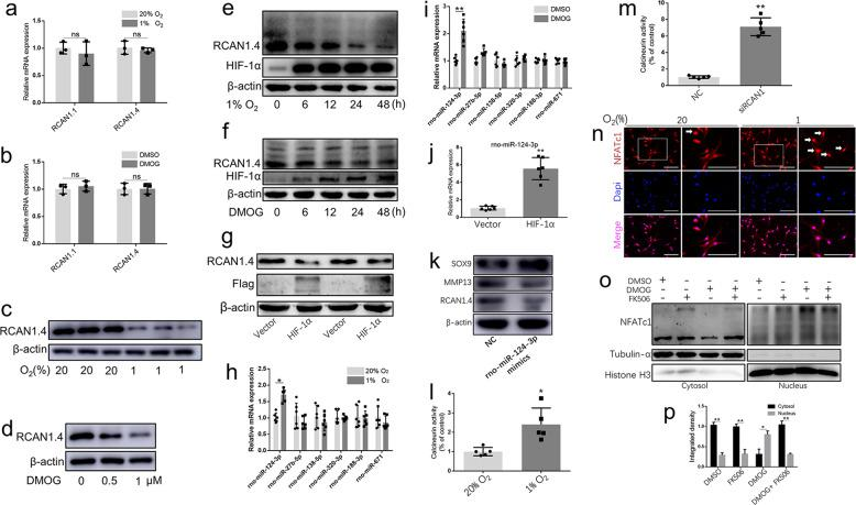 Hypoxia activated the calcineurin/NFAT signaling pathway through suppression of RCAN1.4. a Relative gene expression of RCAN1.1 and RCAN1.4 in human NP cells under hypoxia or b DMOG treatment compared with that in the normoxia group. c Relative protein level of RCAN1.4 in human NP cells under hypoxia or d DMOG treatment compared with that in the normoxia group. e The RCAN1.4 protein level was visibly decreased in a time-dependent manner under hypoxia or f DMOG treatment. g The RCAN1.4 protein level in human NP cells was reduced with HIF-1α overexpression. h Several microRNAs targeting the RCAN1 were selected. Under hypoxia or i DMOG treatment, rno-miR-124-3p was slightly increased in rat NP cells. j Overexpression of HIF-1α in rat NP cells upregulated rno-miR-124-3p. k An rno-miR-124-3p mimic could suppress RCAN1.4 expression in rat NP cells. l The activity of calcineurin in rat NP cells was upregulated under hypoxia or m RCAN1.4 siRNA treatment. n Immunofluorescence and o western blotting demonstrated the nuclear translocation of NFATc1 was obviously evaluated in rat NP cells under hypoxia. p The quantified results of the assessment of nuclear translocation of NFATc1 are shown. All experiments were performed at least three times. Scale bar: 100 μm. * P