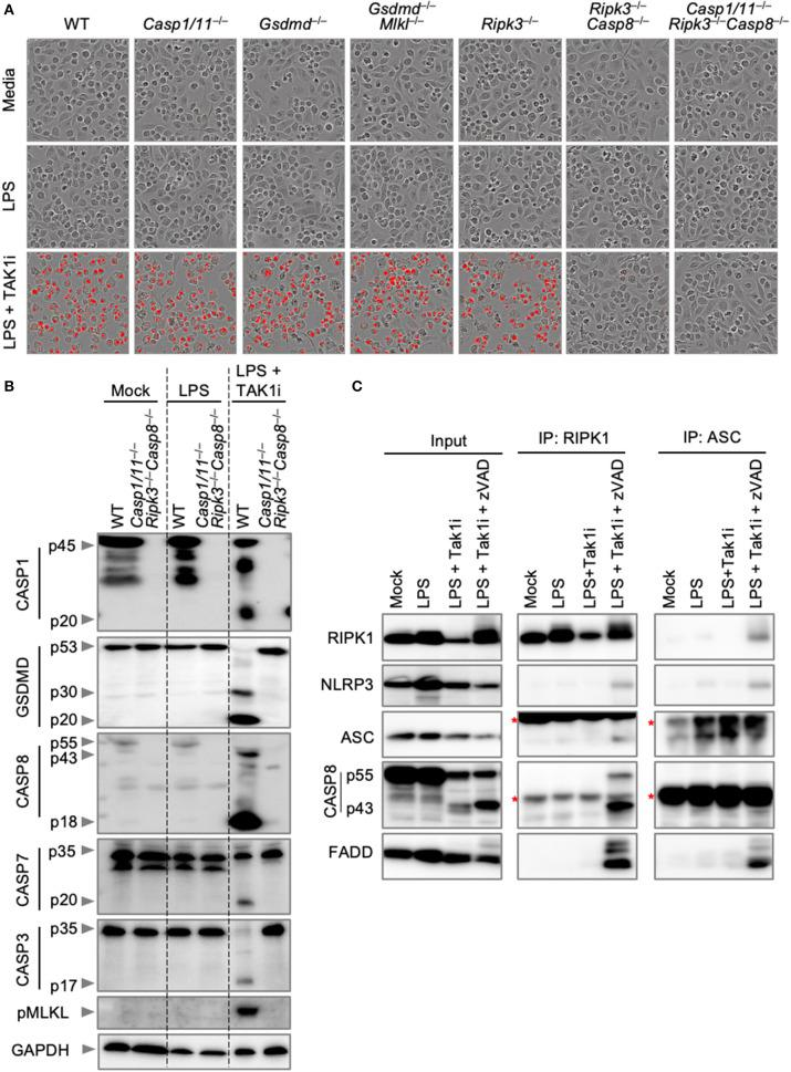 Inhibition of TAK1 promotes PANoptosis and PANoptosome formation. (A) Representative cell death images of BMDMs lacking different components of pyroptosis, apoptosis, or necroptosis after LPS priming and inhibition of TAK1. (B) Western blot analysis of PANoptosis activation after LPS priming and TAK1 inhibition. (C) Co-immunoprecipitation of PANoptosome components from primary BMDMs after TAK1 and caspase inhibition. Red asterisks denote a non-specific band.