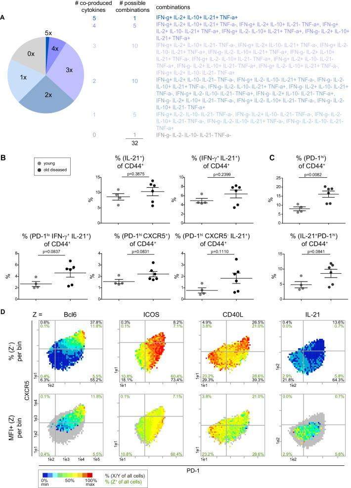 The majority of IL-21 is produced by non-Tfh cells. ( A ) Co-production of IFN-γ, IL-2, IL-10, IL-21 and TNF-α was analyzed by a pie chart. ( B, C ) PRI-based statistical analysis of marker co-expression in young and old mice. ( D ) Bin plots of PD-1 (x-axis) vs. CXCR5 (y-axis) with heatmap of frequency (top) and expression level (bottom) per bin of Tfh and B cell interaction proteins. Cell frequencies per quadrant are calculated on the number of cells per sample (black) and number of Z + cells per sample (green). Grey bins contain less than 10 Z + cells. ( D ) Data represent two experiments with n = 6 mice in total. ( B, C ) Samples were compared using the unpaired two-tailed t-test. Data are presented as the mean ± s.e.m. Figure 3—figure supplement 1A : Raw data to determine the frequencies of boolean combinations of coexpression of five cytokines. Figure 3—figure supplement 1B, C : Frequencies from IL-21 + subpopulations extracted from PRI bin plots. Data as in Figure 3—source data 1 .