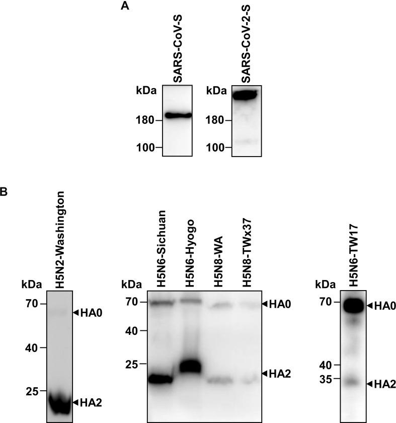 Immunoblotting of S protein of SARS-CoV or SARS-CoV-2 and HA protein of avian influenza H5. (A) S proteins of SARS-CoV and SARS-CoV-2 were immunoblotted with mouse anti-SARS-CoV S protein antibody and mouse anti-HA tag protein antibody, respectively. (B) HA proteins of avian influenza H5 were immunoblotted with mouse anti-influenza virus H5 HA protein antibody. As the antibody recognized the HA2 epitope, both of HA0 and HA2 protein were detected by the immunoblotting.