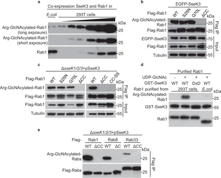 Silencing prenylation signals of Rab small GTPases abolishes the GlcNAcylation by SseK3. a Arg-GlcNAcylation detection of Rab1 purified from prokaryotic and eukaryotic cells. Anti-Rab1 is shown as loading control. b , c Effects of GTP loading (Q70L)-, GDP loading (S25N)-, and loss of prenylation (ΔCC and CC-SS) forms of Rab1 on the GlcNAcylation by SseK3 during ectopic expression ( b ) and Salmonella infection ( c ). Lysates were immunoprecipitated with Flag antibody and immunoblotted with indicated antibodies. d Effects of prenylation of Rab1 in a recombinant reaction in vitro. Rab1 with or without prenylation indicates the Rab1 protein purified from 293T cells or E. coli BL21 (DE3) strain, respectively. e Prenylation of some Rab small GTPases is crucial for the GlcNAcylation by SseK3 during Salmonella infection. 293T cells were transfected with Flag-tagged Rab1, Rab8, Rab33, as well as their C-terminal deletion forms, and then subjected to pathogen infection with indicated strains. Shown are immunoblots of anti-Flag immunoprecipitates (Flag IP). Representative data from at least three repetitions are shown.