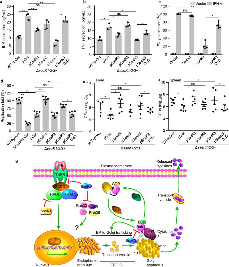 SseK3 inhibits cytokine secretion and is required for bacterial pathogenesis. a , b Effects of SseK proteins on the secretion of pro-inflammatory cytokines in RAW264.7 cell during S . Typhimurium infection. The cytokine IL-6 ( a ) and TNF ( b ) released during 6–18 h after infection were measured in culture supernatants by ELISA and normalized to CFUs enumerated from each strain at 18 h post infection. Results shown are mean values ± SD (error bar) from three independent experiments. c Effects of SseK proteins or the enzymatic mutant on the secretion of IFN-γ in 293T cells. The content of IFN-γ in culture supernatant and cell lysate was quantified by ELISA and the secretion index was calculated. Results shown are mean values ± SD (error bar) from three independent experiments. d Effects of SseK on the replication of S . Typhimurium in macrophages. RAW264.7 were infected with the indicated S . Typhimurium at a multiplicity of infection of 10. Fold replication was determined by comparing bacterial counts at 2 and 24 h post infection. Results shown are mean values ± SD (error bar) from five independent experiments. e , f Effects of SseK proteins on the bacterial virulence in vivo. Six-week-old C57BL/6 mice were orally infected with the indicated S . Typhimurium strains and killed at 4 days post infection. Bacterial counts in the liver ( e ) and spleen ( f ) were calculated as colony-forming units (CFUs) per gram of tissue. A minimum of five mice was used for each group. Results shown are mean values ± SEM (error bar). n.s., not significant. * P