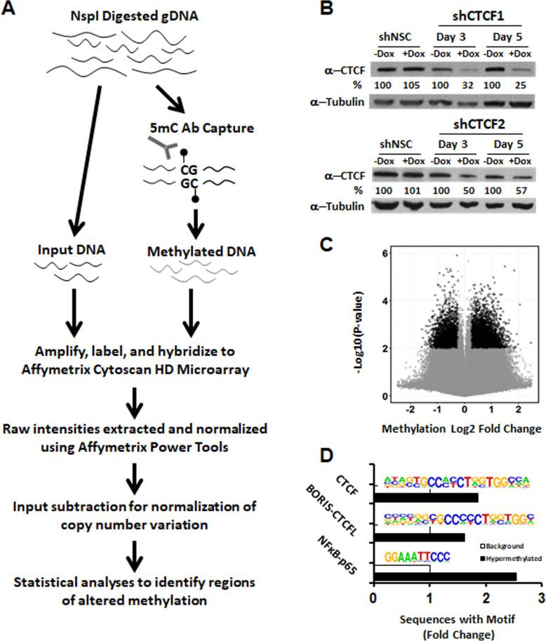 Knockdown of CTCF protein results in DNA hypermethylation preferentially at CTCF sites. a Workflow of methylated DNA immunoprecipitation followed by copy number array application (MeDIP-chip) for detecting methylation alterations. NspI restriction fragments were bound to anti-5-methylcytosine antibody, eluted, and hybridized to a Affymetrix Cytoscan HD probe. An unenriched total input fraction was processed for comparison. b Short hairpin mediated CTCF knockdown in two separate shRNA targeting CTCF verified by western blotting after 3 and 5 days of shRNA induction including shRNA non-silencing control (shNSC). Data shown are one representative of 3 independent experiments using immortalized HPECs. Percentage knockdown compared to shCTCF -Dox control, quantified by ImageJ. c Volcano plot of detected methylation changes in CTCF knockdown HPECE6/E7 after 5 days of dox exposure (cut-point, methylation Abs. Log2FC > 1.5, P
