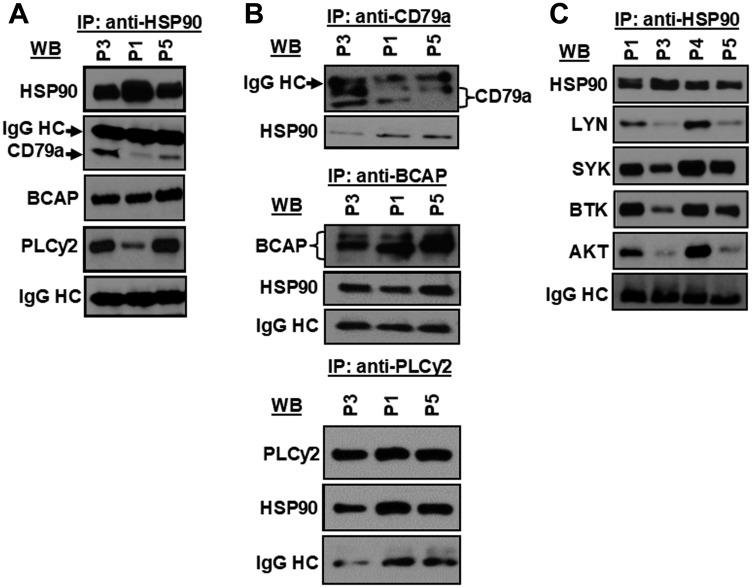HSP90 forms a multi-molecular complex with kinases, lipase and adaptor molecule of the BCR pathway. HSP90 was immunoprecipitated from CLL cell lysates from previously untreated CLL patients (P1, P3, P5), followed by detection of CD79a, BCAP, and PLCγ2 ( A ) in western blots using specific antibodies. Similarly, CD79a, BCAP or PLCγ2 was immunoprecipitated individually from the same CLL cell lysates (P1, P3, P5) used above and the immunecomplex was analyzed for the presence of HSP90 in western blot using a specific antibody to HSP90 ( B ). HSP90 was further pulled down from the same CLL cell lysates (P1, P3, P5) used above to detect co-precipitation of LYN, SYK, BTK or AKT by western blot analyses using specific antibodies ( C ). CLL B-cell lysates from another CLL patient (P4) was also included in panel C. Immunoglobulin G heavy chain (IgG HC) was used as loading control.
