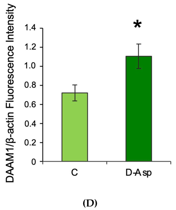 Testicular Disheveled-Associated-Activator of Morphogenesis1 (DAAM1) protein levels and localization in D-Asp treated rats. ( A ) Western blot analysis of DAAM1 (123 kDa) protein levels in the testis from D-Asp-treated and control rats. ( B ) The amount of DAAM1 was quantified using ImageJ program and normalized with respect to β-actin (42 kDa). Values represent the means ± S.D. of five samples. ** p