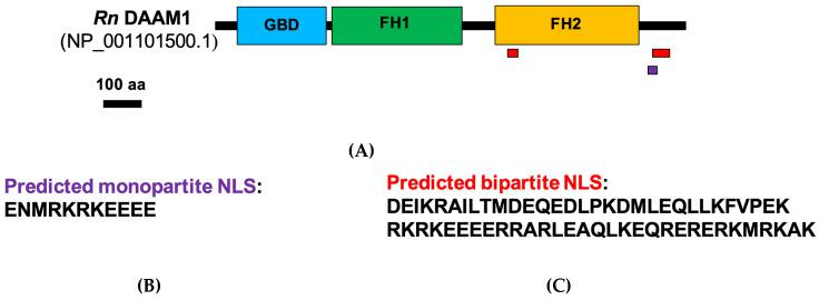 Schematic representation of domain architecture of rat DAAM1. ( A ) The main domains are represented: GTPase binding domain (GBD) domain (blue), Formin Homology 1 (FH1) domain (green) and Formin Homology 2 (FH2) domain (yellow). ( B ) Amino acid sequence of the predicted monopartite nuclear localization signal (NLS) (purple). ( C ) Amino acid sequence of the predicted bipartite NLS (red).