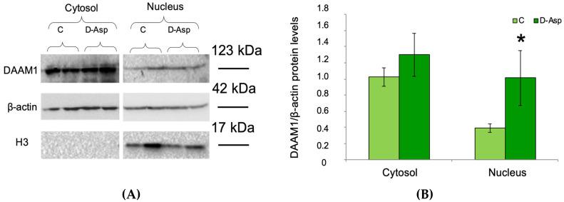 DAAM1 (123 kDa) levels in cytosolic and nuclear protein fractions in D-Asp treated rats. ( A ) Western blot detection of DAAM1 protein in cytosolic and nuclear fractions of D-Asp-treated and control rat testis. To evaluate the purity of the samples, the nuclear protein levels of histone H3 (17 kDa) was detected. ( B ) The amount of DAAM1 was quantified using ImageJ program and normalized with respect to β-actin (42 kDa). Values represent the means ± S.D. of five samples. * p