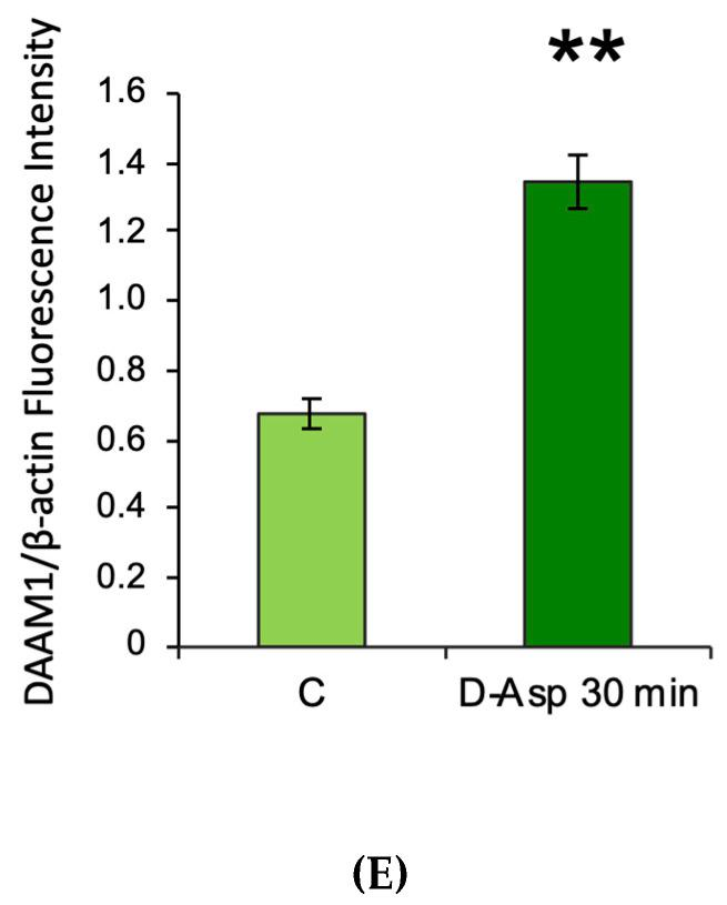 DAAM1 protein levels and localization in cultured mouse GC-1 cells. ( A ) DAAM1 Western blot detection (123 kDa) in GC-1 cells at 30 min after D-Asp treatment and at time 0 (control, C); T = Testis. ( B ) DAAM1 protein levels are quantified using the ImageJ program and normalized with respect to β-actin (42 kDa). Values represent the means ± S.D. of three separate experiments. * p