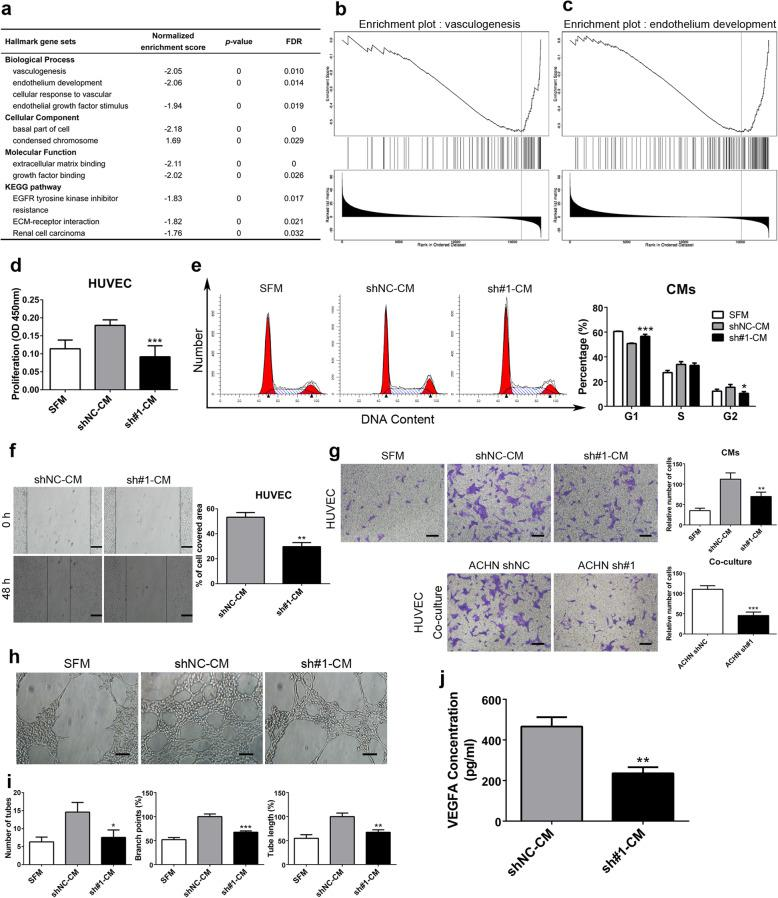SALL4 induces ccRCC angiogenesis in vitro. a Enriched gene ontology (GO) term and KEGG pathway analysis of genes significantly correlated with SALL4 in ccRCC. b , c Gene set enrichment analysis (GSEA) profiles for the genes significantly correlated with SALL4 in ccRCC. Data ( a - c ) from TCGA database were analyzed via LinkedOmics bioinformatics. d HUVECs were treated with serum-free medium (SFM) or conditioned medium (CMs) from ACHN-shNC/shSALL4 cells. After treatment for 72 h, CCK-8 assays were performed to evaluate cell proliferation. e Flow cytometry analyses of cell cycle distribution in HUVECs treated with SFM or CMs from ACHN-shNC/shSALL4 cells. f Wound-healing assay was performed to determine the migration of HUVECs with CMs treatment (scale bar, 200 μm). g Representative images and quantification analyses of the recruitment of HUVECs co-cultured with indicated CMs ( upper ) or ACHN-shNC/shSALL4 cells ( lower ) in lower chambers (scale bar, 100 μm). h, i Representative images ( h ) and quantification analyses ( i ) of tube formation in HUVECs treated with SFM or indicated CMs (scale bar, 100 μm). j The expression level of VEGFA in CMs from ACHN-shNC/shSALL4 cells was detected by ELISA assay. * P