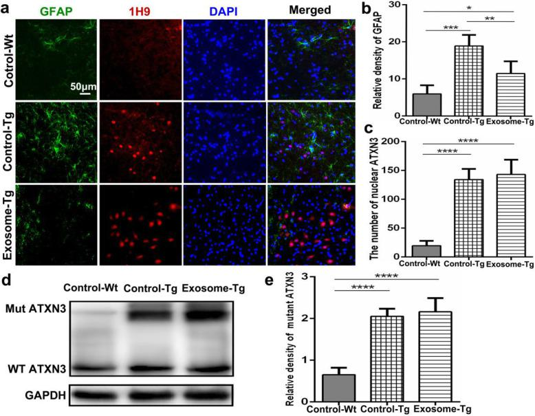 Injection of MSC-derived exosomes significantly reduced the activation of astrocytes. a Immunofluorescence images of astrocytes in pons among YACMJD84.2 mice with exosomal treatment (Exosome-Tg, n = 4), YACMJD84.2 mice without exosomal treatment (Control-Tg, n = 4), and wild-type littermates (Control-Wt, n = 4). The scale bar was 50 μm. b Quantitative analysis of <t>GFAP</t> signal intensity ( n = 4). ( c ) Quantitative analysis of the number of nuclear inclusions stained by 1H9 ( n = 4). d Western blot analysis of mutant (Mut) and wild-type (WT) <t>ATXN3</t> expression among YACMJD84.2 mice with exosomal treatment (Exosome-Tg, n = 4), YACMJD84.2 mice without exosomal treatment (Control-Tg, n = 4), and wild-type littermates (Control-Wt, n = 4) in the cerebellum. e Quantitative analysis of mutant ATXN3 expression. One-way ANOVA analysis; * p ≤ 0.05, ** p ≤ 0.01, *** p ≤ 0.001, **** p ≤ 0.0001