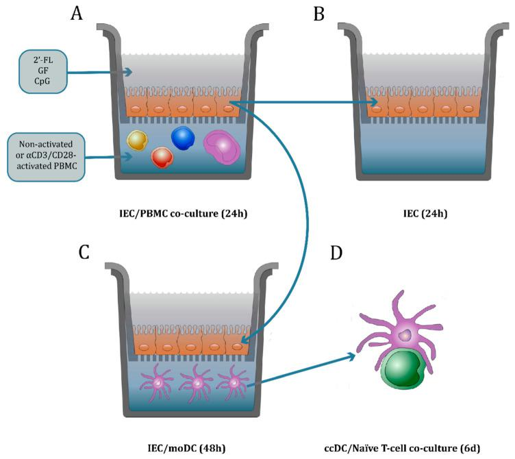 Co-culture model description. IEC were grown in <t>12-well</t> transwell inserts until confluency and basolaterally exposed to either non-activated or αCD3/CD28-activated PBMC. Apically, IEC were conditioned with 2′-FL or GF in the presence or absence of CpG, a TLR9 agonist mimicking a bacterial trigger ( A ). After 24 h incubation, basolateral supernatant was collected to analyze the T-cell mediator release. The IEC were set apart and washed with PBS. Then, fresh medium was added and IEC were kept in incubation for an additional 24 h to study the IEC-derived mediator release ( B ). Alternatively, IEC were washed with PBS and co-cultured with immature moDC for 48 h ( C ). Then, the basolateral supernatant was collected where the mediator release was studied. Additionally, the phenotype of moDC after IEC/moDC co-culture was analyzed. Subsequently, conditioned moDC (ccDC) were exposed to naïve T-cells in an allogeneic DC/T-cell assay ( D ). After 5–6 days incubation, the cytokine release was measured in the supernatant.