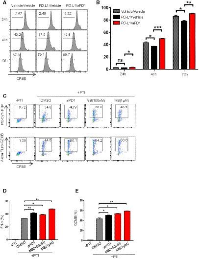 MB enhanced activation and effector function of CTL Effect of PD‐1 antibody on the proliferation of OT‐I CTLs. Splenocytes from OT‐I mice were labeled with CFSE and seeded in a 96‐well plate. Media were supplemented with 10 nM of SINFEEKL peptide, 10 ng/ml of human IL‐2 and 10 μg/ml of mouse PD‐L1 protein in the presence of 10 μg/ml of PD‐1 antibody. Cell proliferation was measured by FACS. Bar graph of (Fig   EV2 A). MB enhancing production of cytokine and cytolytic granule by OT‐1 CTLs. CTLs were co‐incubated with CFSE‐labeled EG7‐L1 cells in the presence of protein transport inhibitor (PTI) and MB at indicated concentrations. Expression of cytokine and cytolytic granule was determined by flow cytometry. aPD‐1 antibody served as positive control. EG7‐L1: EG7 overexpressing PD‐L1. Bar graph of IFNγ production of OT‐1 CTLs in (Fig   EV2 C). Bar graph of GZMB production of OT‐1 CTLs in (Fig   EV2 C). Data information: Data are representative of three independent experiments and were analyzed by unpaired  t ‐test. Error bars denote SEM. * P