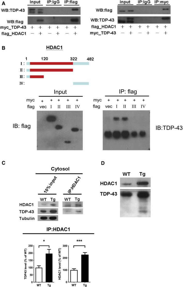 TDP‐43 interacts with HDAC1 and traps HDAC1 in inclusion bodies Left panel: Flag‐tagged full‐length HDAC1 was overexpressed with myc‐tagged TDP‐43 in HEK‐293T cells; the cell lysates were immunoprecipitated for flag and immunoblotted for TDP‐43 and flag. Right panel: myc‐tagged TDP‐43 was overexpressed with flag‐tagged full‐length HDAC1 in HEK‐293T cells; the cell lysates were immunoprecipitated for myc and immunoblotted for flag and TDP‐43. Upper left: Flag‐tagged full‐length HDAC1 (b.I) or various truncation mutations (b.II‐IV) were overexpressed with myc‐tagged TDP‐43; the catalytic domain is indicated in red. Lower panel: the Western blotting of cell lysates immunoprecipitated for flag and immunoblotted for TDP‐43. Upper panel: Immunoprecipitation of cytosolic HDAC1 and immunoblotting of HDAC1 and TDP‐43 in WT and FTLD‐TDP Tg mice. Lower histogram: Quantification of immunoprecipitation results of HDAC1 and TDP‐43 in WT and Tg mice. N = 5 mice per group, data are presented as mean ± SEM (%), * P = 0.0149, *** P = 0.0003 by t ‐test. Western blot of HDAC1 and TDP‐43 in urea‐soluble fractions. N = 5 mice per group. Source data are available online for this figure.