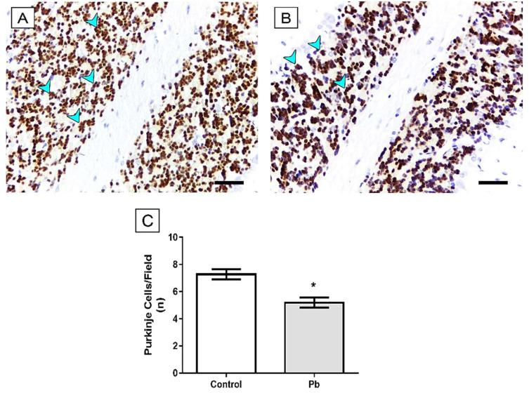 Effects of long-term exposure to Pb in synaptophysin (SYP) immunostaining (blue arrowhead) in cerebellum of Wistar rats. ( A ) Control group and ( B ) Lead group. The results are expressed as mean ± standard error of ( C ) area fraction percentage of immunostaining. * p