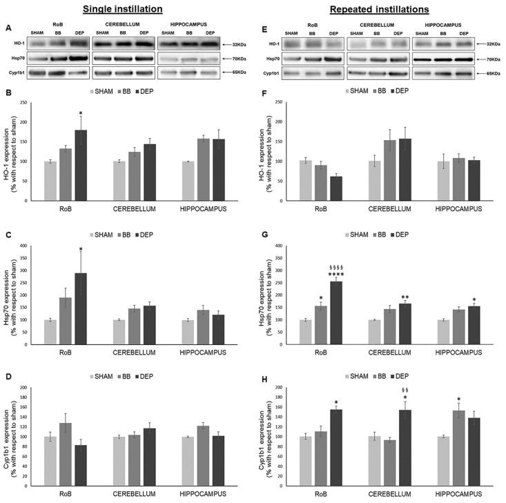 Oxidative stress analysis after single and repeated instillations of biomass burning-derived (BB) particles and diesel exhaust particles (DEP). Representative immunoblotting images of heme oxygenase-1 (HO-1), heat-shock protein 70 (Hsp70), and Cytochrome P450 1b1 (Cyp1b1) analysis in mice after single ( A ) and repeated ( E ) instillations with 50 µg of BB or DEP/100 µL 0.9% NaCl. Histograms display HO-1, Hsp70, and Cyp1b1 expression in mice after single ( B – D ) and repeated ( F – H ) instillations with BB and DEP, with respect to sham. Proteins are normalized to corresponding total proteins revealed by Ponceau in each lane ( Figure S3, Supplementary Materials ), and the data are expressed as means ± standard error of the mean (SEM) ( n = 6). Statistical differences were tested accordingly by one-way ANOVA followed by Tukey post hoc comparison. * p