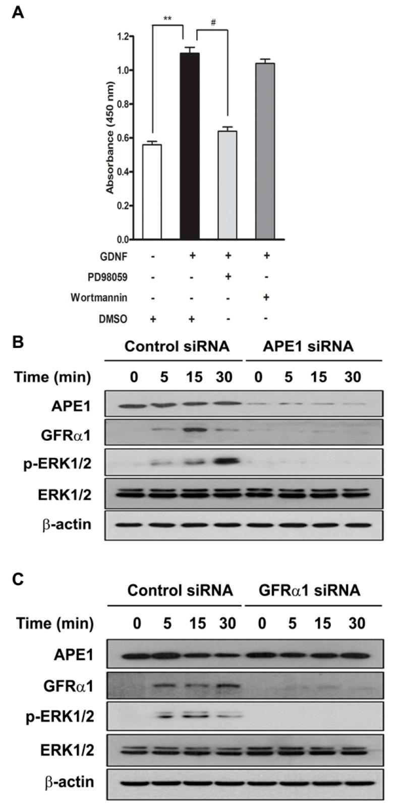 APE1 and GFRα1 increases ERK phosphorylation in response to GDNF. ( A ) MIA PaCa-2 cells were pretreated with MEK-1 inhibitor PD98059 (10 μM) and the PI3K inhibitor Wortmannin (200 μM) and then treated with or without 50 ng/mL GDNF for 24 h. After treatment, cell proliferation was analyzed by WST-1 assay. Data are expressed as mean ± standard deviation from three independent experiments. ** and # denote p