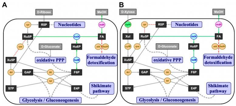 The ribulose monophosphate pathway (RuMP) implemented in  C. glutamicum . ( A ) Δ rpe  and ( B ) Δ rpi  concepts for methanol-dependent complementation of two metabolic cut-offs of the pentose phosphate pathway in  C. glutamicum , respectively. Substrates in grey boxes: MeOH, methanol; metabolites in black boxes: E4P, erythrose 4-phosphate; F6P, fructose 6-phosphate; FA, formaldehyde; GAP, glyceraldehyde 3-phosphate; Hu6P, hexulose 6-phosphate; R5P, ribose 5-phosphate; Ru5P, ribulose 5-phosphate; S7P, sedoheptulose 7-phosphate; Xul, xylulose; Xu5P, xylulose 5-phosphate; interconnected pathways, violet boxes: PPP, pentose phosphate pathway; native or homologous overexpression of genes in orange circles:  rpe , ribulose 5-phosphate epimerase;  rpi , ribose 5-phosphate isomerase;  tal , transaldolase;  tkt , transketolase;  xylA , xylose isomerase;  xylB , xylulokinase; heterologous overexpression of  xylA  gene (xylose isomerase) from  X. campestris  in green circle; heterologous overexpression of RuMP pathway genes from  B. subtilis  in blue circles:  hxlA , 3-hexulose 6-phosphate synthase;  hxlB , 6-phospho 3-hexulose isomerase; heterologous overexpression of  mdh  gene (methanol dehydrogenase) from  B. methanolicus  in pink circle; red arrows, knocked out reactions; green arrows, complementing reactions.