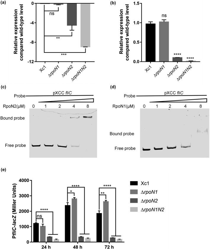 The effects of RpoN2 on binding to the promoter of Xanthomonas campestris pv. campestris fliC . (a) Relative expression of fliC as determined by RNA‐Seq. (b) Relative expression of fliC as determined by quantitative reverse transcription PCR. (c) and (d) Gel shift assay showing that RpoN2 and RpoN1 directly regulate fliC . RpoN2 and RpoN1 (0, 1, 2, 4, or 8 μM) were added to reaction mixtures containing 50 ng of probe DNA, and the reaction mixtures were separated on polyacrylamide gels. (e) The effect of RpoN on fliC gene expression was measured by assessing the β‐galactosidase activity of the fliC ‐ lacZ transcriptional fusions in the Xc1 wild‐type, Δ rpoN1 , Δ rpoN2 , and Δ rpoN1N2 strains. Error bars, means ± SD ( n = 3). * p