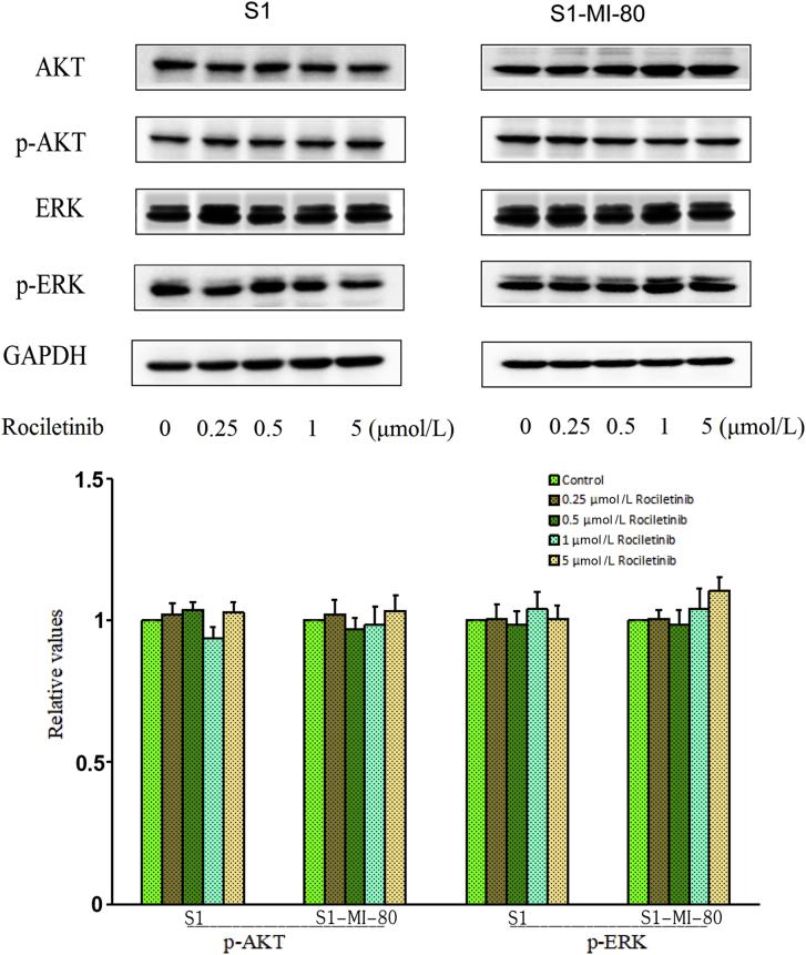 Effect of rociletinib on AKT, ERK, and their phosphorylations in MDR and the parental cells. S1 and S1-MI-80 cells were treated with different concentrations of rociletinib for 48 h. The protein expression level of AKT and ERK and phosphorylations were detected by Western blot (GAPDH as loading control). All these experiments were repeated at least three times.