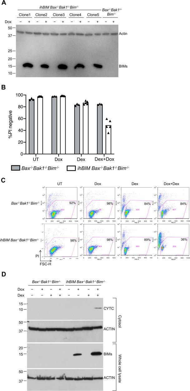 Induced expression of hBIMs was not sufficient to death of untreated cells, but did restore sensitivity of Bax −/− Bak1 −/− Bim −/− WEHI7 cells to treatment with dexamethasone. a Bax −/− Bak1 −/− Bim − /− WEHI7 cells were transduced with a lentiviral construct expressing human BIMs from a doxycycline-inducible promoter. Five independent ihBIM Bax −/− Bak1 −/− Bim − /− WEHI7 clonal cell lines were cultured for 3 days in the presence or absence of 1 µg/ml doxycycline (Dox). Bim expression was monitored by immunoblotting, using ACTIN as loading control. b Bax −/− Bak1 −/− Bim −/− parental cells (gray bars) and five independent Bax −/− Bak1 −/− Bim −/− inducible hBIMs ( ihBIM ) WEHI7 cell clones (white bars) were cultured for 6 days in the presence or absence of 1 µg/ml Dox and/or 1 µM Dex. Cell death was assessed by PI uptake using flow cytometry. For cell death to occur, both treatment with Dex, as well as induction of BIMs, were necessary. c Dot plots show one of the five independent clones as shown in b , numbers represent the percent of PI-negative cells of a total of 10,000 cells analyzed per condition. d Bax −/− Bak1 −/− Bim −/− WEHI7 cells and those from ihBIM Bax −/− Bak1 −/− Bim −/− WEHI7 lines were cultured for 6 days in the presence or absence of 1 µg/ml Dox and/or 1 µM Dex. Cytoplasmic extracts were subjected to western blot analysis, with antibodies specific for CYTC and ACTIN. For CYTC to be released into the cytosol, both treatment with Dex, as well as induction of BIMs, were necessary.
