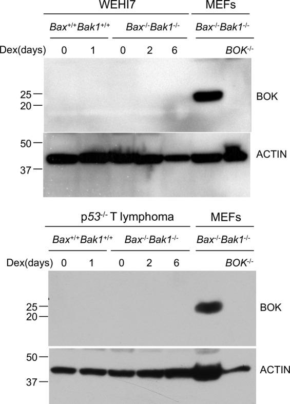 BOK is undetectable in WEHI7 and p53 −/− lymphoma cells. Whole-cell lysis of Bax −/− Bak1 −/− and Bax −/− Bak1 −/− WEH7 cells (upper panel) and p53 −/− T lymphoma cells (lower panel), were treated with 1 µM Dex for the indicated times and analyzed by western blot. Membranes were incubated with a rabbit anti–BOK polyclonal antibody and subsequently with a monoclonal antibody to ACTIN. Lysates from Bax −/− Bak1 −/− and Bax −/− Bak1 −/− Bok −/− mouse embryonic fibroblast lines (MEFs) were used as positive and negative controls. The results of one of two independent experiments are shown.